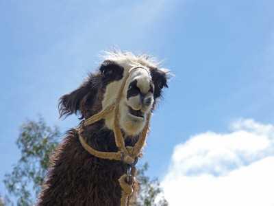 lama - Hartz IV: Weiterbildung Lama führen