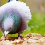 tauben faenger 150x150 - Hartz IV-Bezieher müssen Tauben fangen