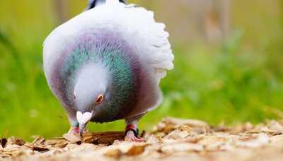 tauben faenger - Hartz IV-Bezieher müssen Tauben fangen